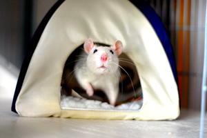 Rattenplage...